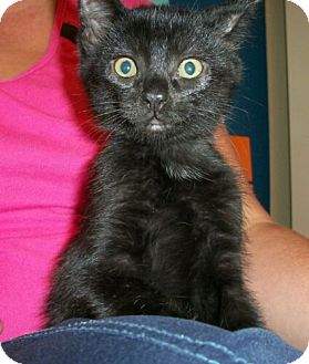 Domestic Shorthair Kitten for adoption in Reston, Virginia - Ranger
