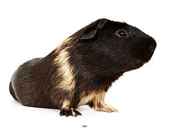 Guinea Pig for adoption in New York, New York - Sam