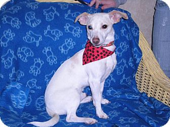 "Terrier (Unknown Type, Small) Mix Dog for adoption in New Castle, Pennsylvania - "" Alby """