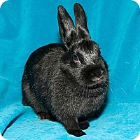 Adopt A Pet :: Pat the Bunny - Los Angeles, CA