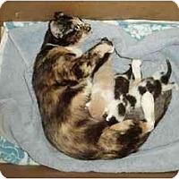 Adopt A Pet :: Pandora's Kittens - Westfield, MA