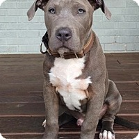 Adopt A Pet :: Bowie - Atlanta, GA