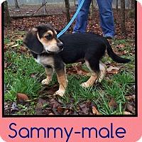 Adopt A Pet :: Sammy (Pom) - Harrisonburg, VA