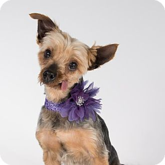 Yorkie, Yorkshire Terrier Dog for adoption in St. Louis Park, Minnesota - Helena