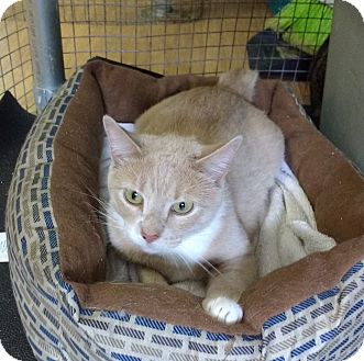 Domestic Shorthair Cat for adoption in Powellsville, North Carolina - Miss Kitty