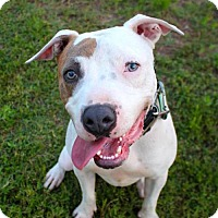 Pit Bull Terrier Mix Dog for adoption in Austin, Texas - Nexus