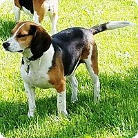 Adopt A Pet :: Silly - Novi, MI