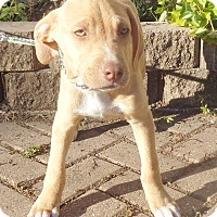 Adopt A Pet :: Aramus - West Chicago, IL