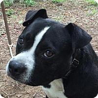 Adopt A Pet :: Schnitzel - Spring Valley, NY