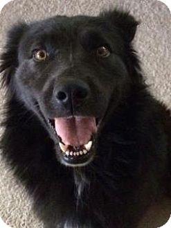 Labrador Retriever/Terrier (Unknown Type, Medium) Mix Dog for adoption in Apple Valley, California - Buddy #160434