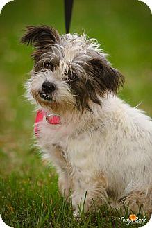 Norfolk Terrier Mix Dog for adoption in Princeton, Minnesota - Maggie