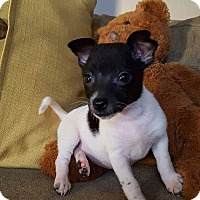 Chihuahua/Terrier (Unknown Type, Small) Mix Puppy for adoption in joliet, Illinois - Curlie