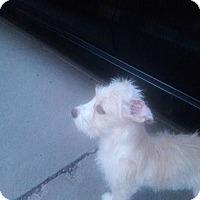 Adopt A Pet :: Opal - El Paso, TX