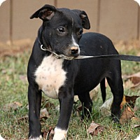 Chihuahua Mix Puppy for adoption in Allentown, Pennsylvania - Olan