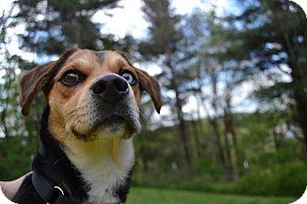 Beagle/Basset Hound Mix Dog for adoption in Enfield, Connecticut - Rebel