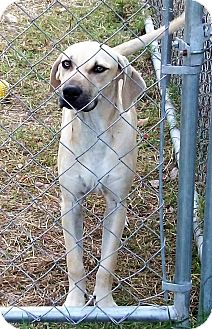 Black Mouth Cur Puppy for adoption in Waller, Texas - Tucker