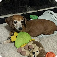 Dachshund Mix Dog for adoption in Portsmouth, New Hampshire - Maggie