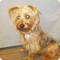 Silky Terrier Mix Dog for adoption in Upper Marlboro, Maryland - *DUSTIN