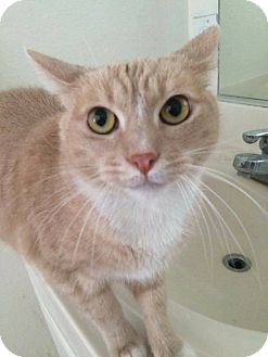 Domestic Shorthair Cat for adoption in Lancaster, California - Luciano