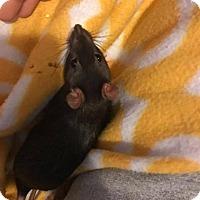 Adopt A Pet :: Frey - Ann Arbor, MI