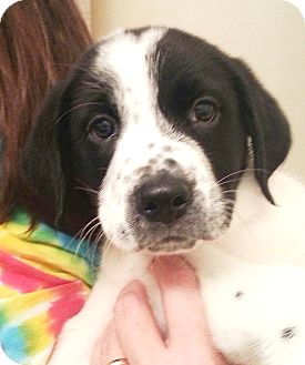 Great Pyrenees Mix Puppy for adoption in Orlando, Florida - Sophie#4M