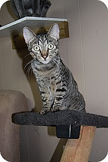 American Shorthair Cat for adoption in Jackson, Mississippi - Jack