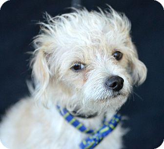 Terrier (Unknown Type, Small) Mix Dog for adoption in Plano, Texas - Valentino