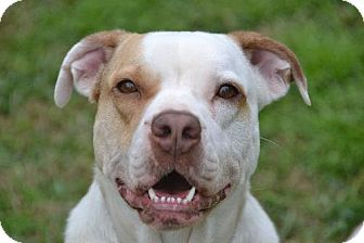 Pit Bull Terrier/Boxer Mix Dog for adoption in Pearland, Texas - Penny