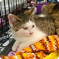 Adopt A Pet :: Spot - Sterling Hgts, MI