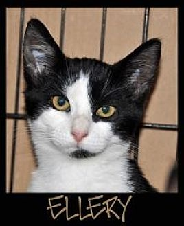 Domestic Shorthair Cat for adoption in Alamogordo, New Mexico - ELLERY