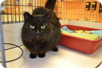 Domestic Longhair Cat for adoption in East Smithfield, Pennsylvania - Selene