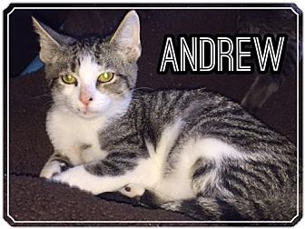 Domestic Shorthair Cat for adoption in Olive Branch, Mississippi - Andrew