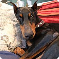 Adopt A Pet :: Sampson - Buffalo, MN