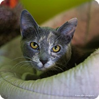 Adopt A Pet :: Nyx - Tucson, AZ