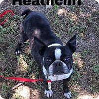 Adopt A Pet :: Heathcliff - Weatherford, TX