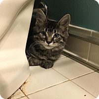Domestic Mediumhair Kitten for adoption in Baltimore, Maryland - Sher Khan (Chatham)
