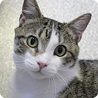 Adopt A Pet :: Pounce de Leon - Chicago, IL
