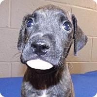 Adopt A Pet :: Dayze - Oxford, MS