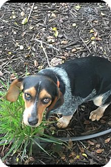 Beagle/Bluetick Coonhound Mix Dog for adoption in O'Fallon, Missouri - Blue