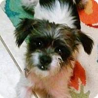 Adopt A Pet :: Addy - Little Rock, AR