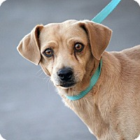 Adopt A Pet :: Archie - Palmdale, CA