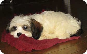 Cavalier King Charles Spaniel/Shih Tzu Mix Puppy for adoption in New Middletown, Ohio - Little Juan