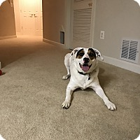 Adopt A Pet :: Bear (COURTESY POST) - Baltimore, MD