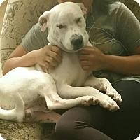 Labrador Retriever/Pit Bull Terrier Mix Dog for adoption in Aurora, Illinois - Ernie