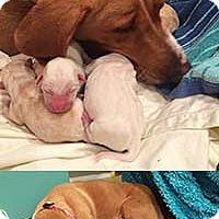 Adopt A Pet :: Buttercup's Beau - Chantilly, VA