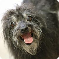Adopt A Pet :: Bam Bam - Canoga Park, CA
