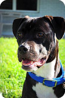 American Bulldog/Labrador Retriever Mix Dog for adoption in Orlando, Florida - Hitch