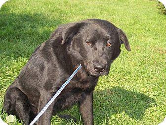 Labrador Retriever Mix Dog for adoption in Germantown, Maryland - Cher