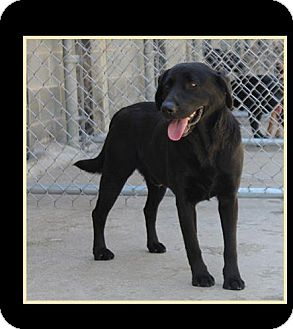 Labrador Retriever Mix Dog for adoption in Morgantown, West Virginia - Shadow