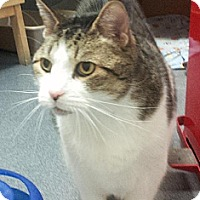 Domestic Shorthair Cat for adoption in Herndon, Virginia - Arturo
